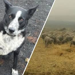 Border Collie Saves Flock Of Sheep From Wall Of Fire In Australia