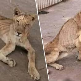 Severely Malnourished Lions Found In Horrifying Conditions At One Of World's Worst Zoos