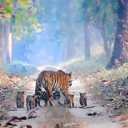 Tigress Pictured Strolling With Her Five Cubs Through Forest