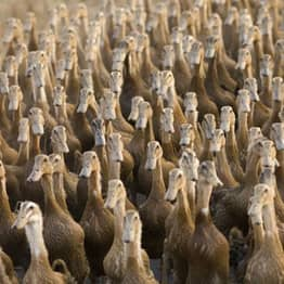 CORRECTION: China Unlikely To Send 'Army Of 100,000 Ducks' To Battle Plague Of Locusts