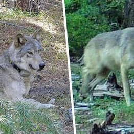 Endangered Gray Wolf Found Dead After Walking 8,000 Miles To Find Mate