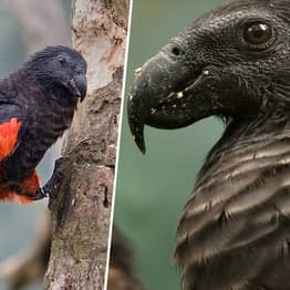 Incredible Dracula Parrot Populations Are Decreasing Due To Poaching