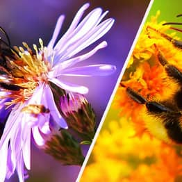 Bumblebee Population In 'Drastic Decline' Because Of Climate Change