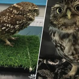 Chunky Owl Rescued By Suffolk Sanctuary After Being Too Fat To Fly
