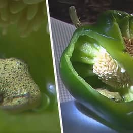 Couple Discover Live Frog Chilling Inside Green Pepper