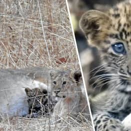 Lion Mama Adopted Sick Baby Leopard Cub As Her Own