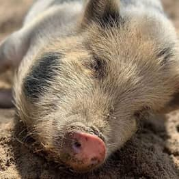 South Carolina Animal Sanctuary Needs People To Cuddle Pigs And Feed Them Cookies