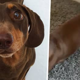 Sausage Dog Sprains Tail From Wagging So Much Because Everyone Is Home