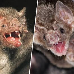Vampire Bats 'French Kiss With Blood' To Form Lasting Bonds