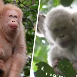 World's Only Albino Orangutan Pictured Alive And Well In Borneo Rainforest