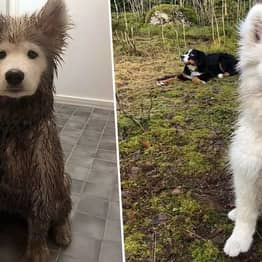 Puppy Keeps Face Perfectly Clean Despite Returning From Walk Covered In Mud