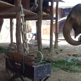 Dozens Of Elephants Set Free As Chairs Used To Carry Tourists Scrapped Over Coronavirus