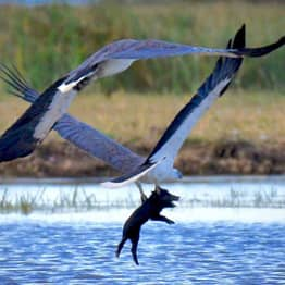 Wildlife Photographer Captures Shocking Moment Eagles Fly Off With Piglet