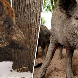Rise Of Feral 'Super Pigs' Who Live In Pigloos 'Worrying' Experts