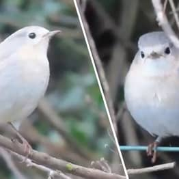 Incredibly Beautiful And Rare White Robin Can't Find A Mate