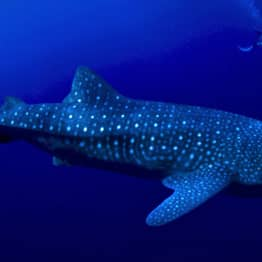 Whale Sharks Could Live To 100 Years Old, Cold War Bomb Reveals