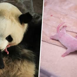 Rare Baby Panda Twins Born In China During Pandemic Named Safe And Sound