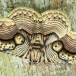 Wildlife Photographer Shares Mesmerising Video Of Moth With Wing Like Tiger Eyes