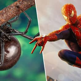 Three Bolivian Brothers Hospitalised After Letting Black Widow Bite Them To Become Spider-Men