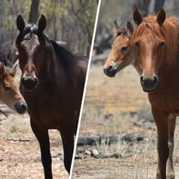 More Than 1,000 Horses In Australia To Be Killed After Shooting Cull Given Green Light