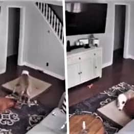 Camera Catches Dog Bringing His Bed To His Sick Brother