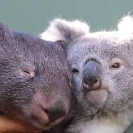 Wombat And Koala Become Best Mates After Sharing Enclosure During Isolation