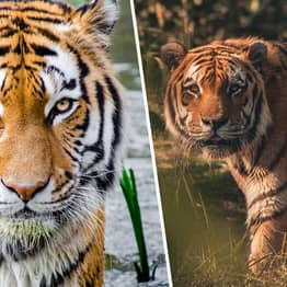 Tiger Population In India Doubles In 12 Years