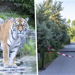 Tiger Kills Female Keeper In Front Of Visitors And Staff At Swiss Zoo