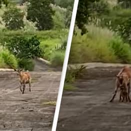 Heartwarming Moment Lost Baby Goat Was Reunited With Its Mum