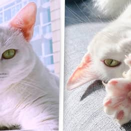 Cat With Different-Coloured Eyes And Extra Toes Abandoned By Owner