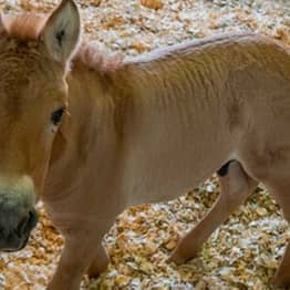First Clone Of Endangered Horse Born In Effort To Save Species
