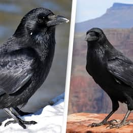 Crows Possess Higher Intelligence Thought Limited To Humans