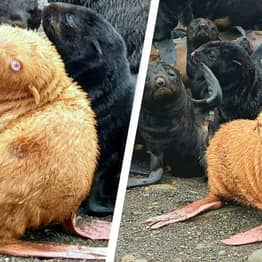 Rare Ginger Seal May Have To Be Rescued After Being Shunned By Its Colony