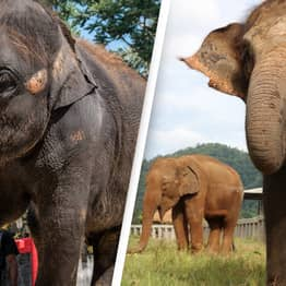 Abused Elephants Forced To Perform Cruel Tricks At Zoo Rescued by Sanctuary