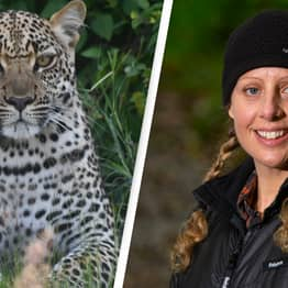 Big Cat Tracker Claims The UK Has A Booming Leopard Population