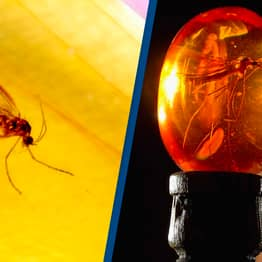 Scientists Successfully Extract DNA From Insects Embedded In Tree Resin