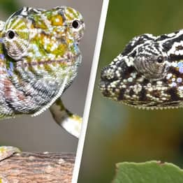 Madagascar Chameleon Last Seen 100 Years Ago Found By Scientists