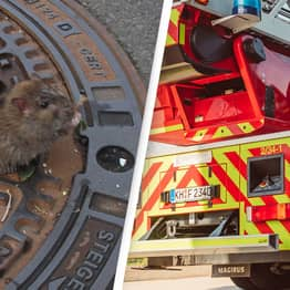 Chubby Rat Rescued By Firefighters After Getting Trapped In Drain Cover