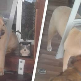 Chunky Dog Put On Diet After Getting Stuck In Doggy Door