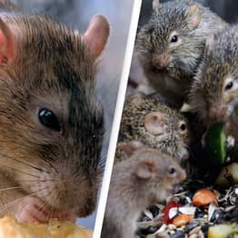Winter Lockdowns Likely To Produce 'Perfect Storm' For Rat Breeding