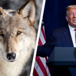Trump Strips Gray Wolves Of Federal Endangered Species Protection