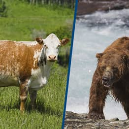 Facial Recognition Software Can New Identify Bears And Cows