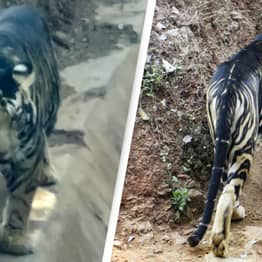 Incredibly Rare Black Tiger Spotted In India