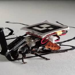 Japanese Researchers Says Cyborg Cockroaches Could Be Used For Household Maintenance