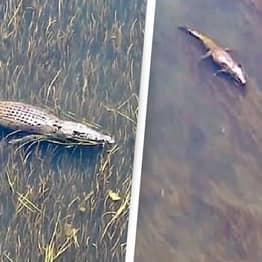 Australian Couple's Drone Captures Moment Bull Shark Comes Face To Face With Crocodile