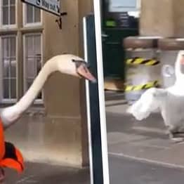Swans On The Loose Cause Havoc At Train Station