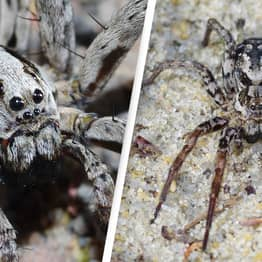 Massive Spider Presumed Extinct Spotted In UK For First Time In 25 Years