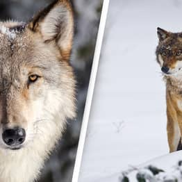 Gray Wolves To Be Reintroduced To Colorado Following Unprecedented Vote