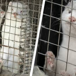 Ireland To Become Next Country To Cull Its Mink Due To Coronavirus Mutation Risk