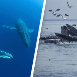 Previously Unknown Population Of Blue Whales Found Living In Indian Ocean